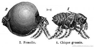 chigoe-flea