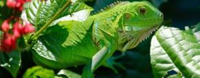 Vers une philosophie écocritique : le récit de L'Iguane comme espace de contaminations